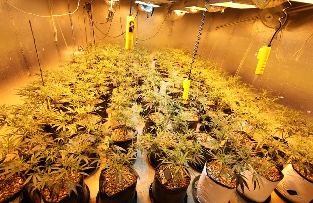 Le gouvernement a l'intention de légaliser la culture de cannabis à des fins médicales et scientifiques (CC. Rusty Blazenhoff)