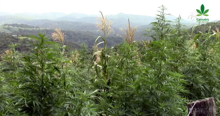 Poison sprayed on cannabis fields, and the CannaTest is back