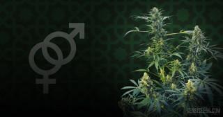 Cannabis Strain Focus: Guerrilla's Gusto® from Sensi Seeds