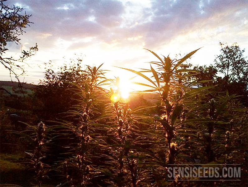 Ein Feld von Cannabispflanzen, die draußen gegen einen Sonnenuntergang wachsen