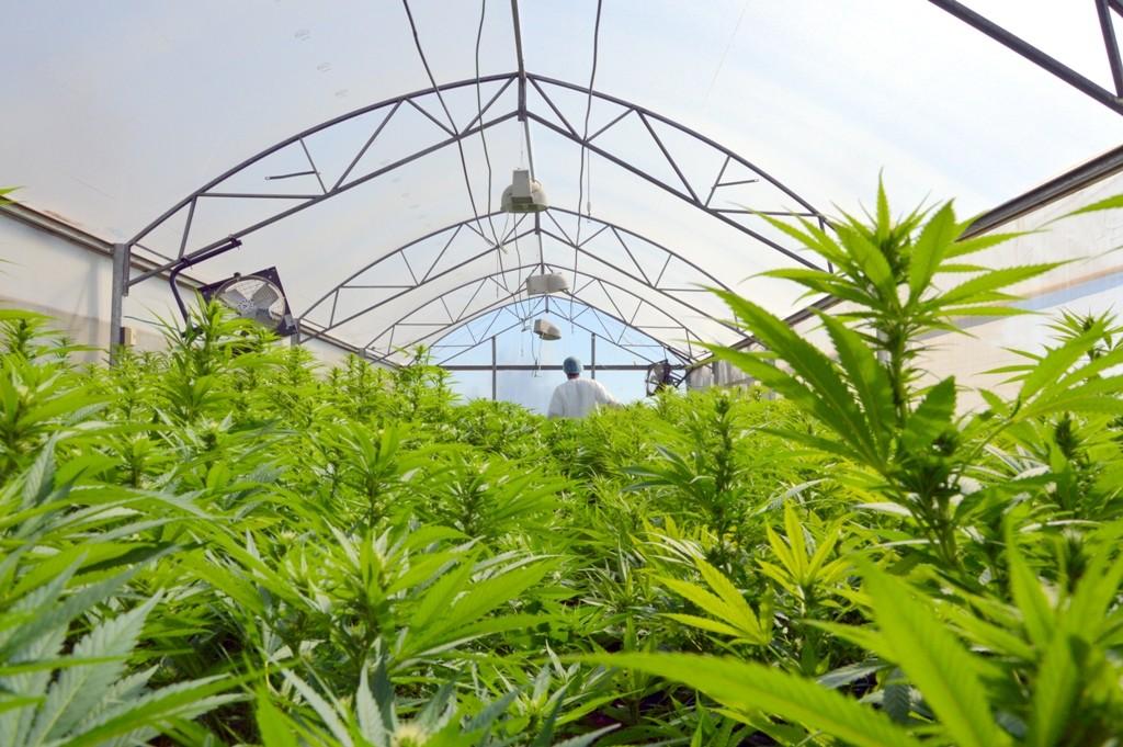 Les installations de culture de Tikun Olam, la première entreprise autorisée de cannabis médical en Israël