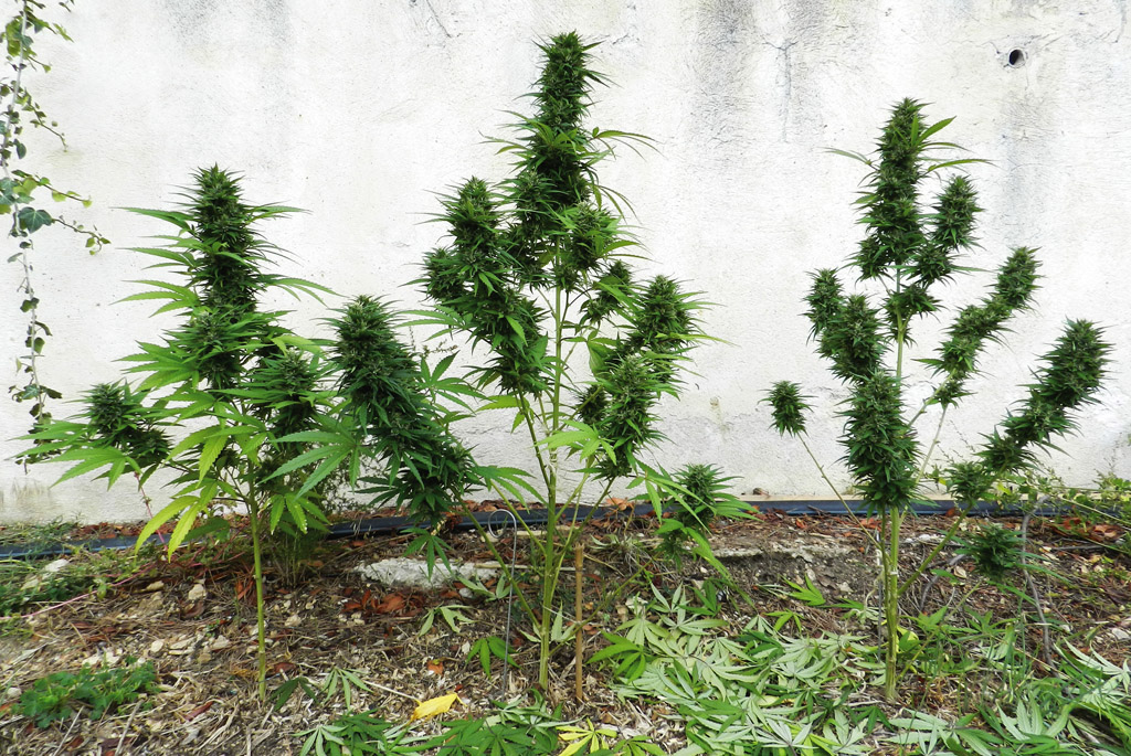 Best tips for outdoor growing for Cannabis exterieur