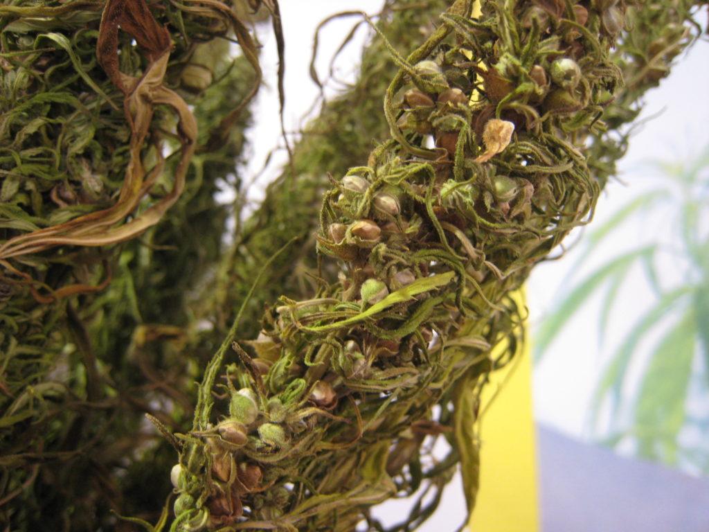 Ya sea por la fibra o la resina, los seres humanos llevan seleccionando genéticas del cannabis desde hace milenios (© Wiki Commons)