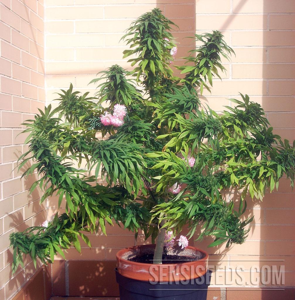 Cannabis_Strain_Focus_Afghani_#1_Sensi_Seeds_Blog_01