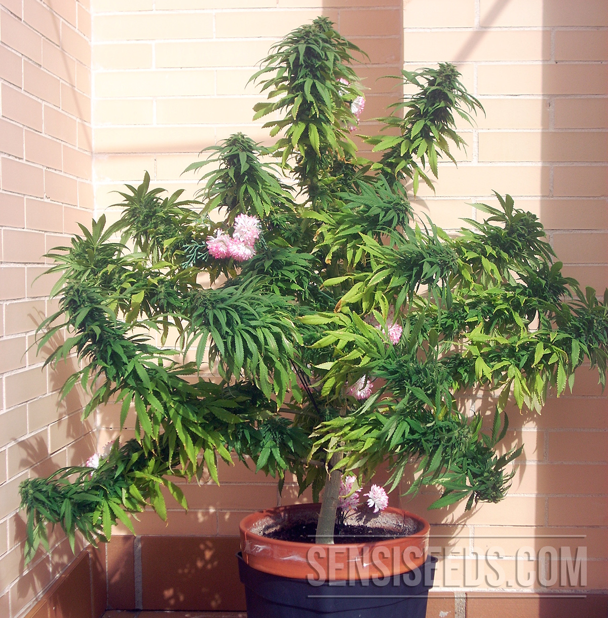 focus sur une vari t de cannabis afghani 1 de sensi seeds. Black Bedroom Furniture Sets. Home Design Ideas