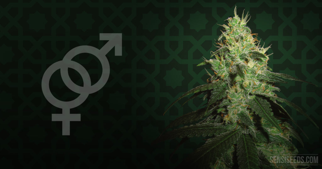 The gender symbols and a cannabis plant