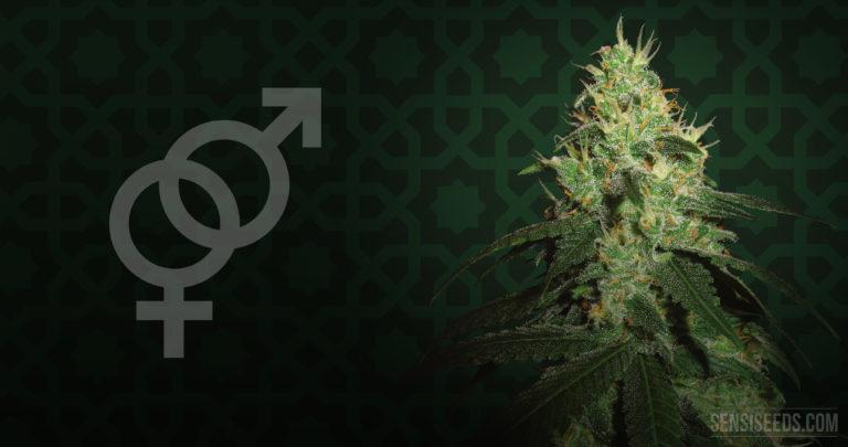 Cannabis Strain Focus : Afghani #1 from Sensi Seeds
