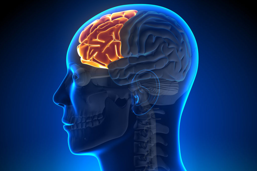 The prefrontal lobes of the brain