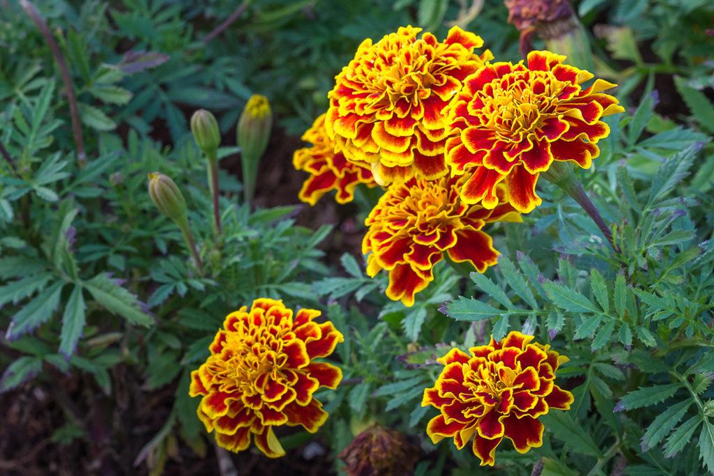 3-Marigold
