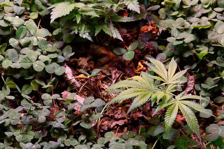How to Harvest Yarrow How to Harvest Yarrow new photo