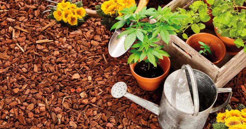 Companion planting for cannabis