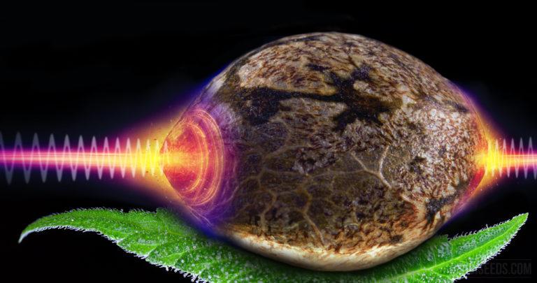 Votre opinion : irradiation gamma pour décontaminer le cannabis médicinal