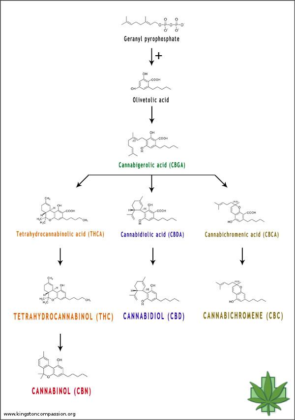 Se ha demostrado que los cannabinoides son útiles en la reducción de los procesos inflamatorios implicados en el rechazo de trasplantes y en los trastornos autoinmunes (CC. Kingston Compassion Club Society)