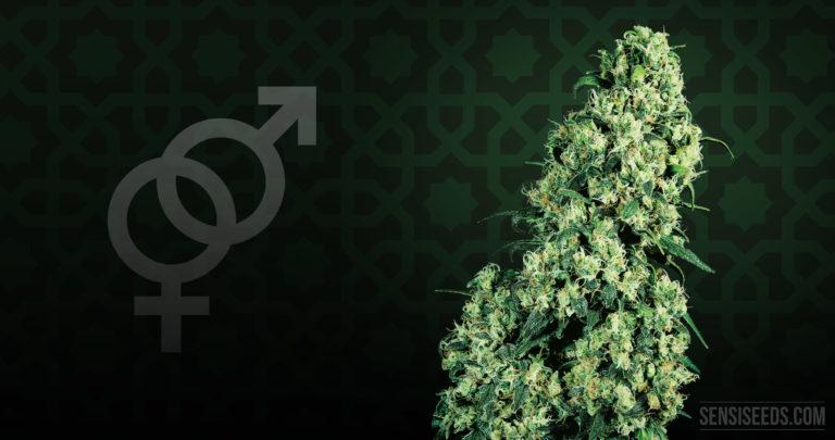 Cannabis Strain Focus: Skunk #1® from Sensi Seeds