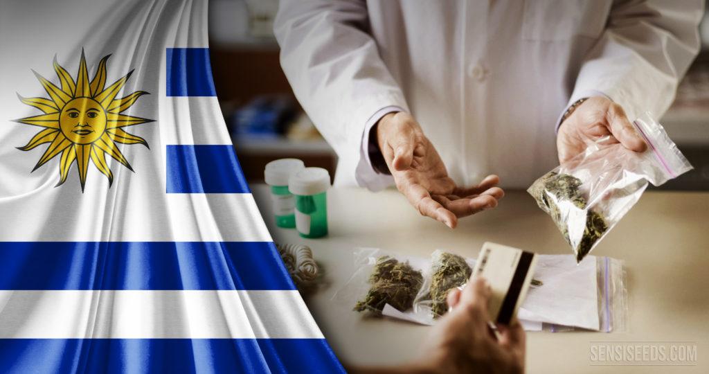 Première récolte uruguayenne légale de cannabis récréatif