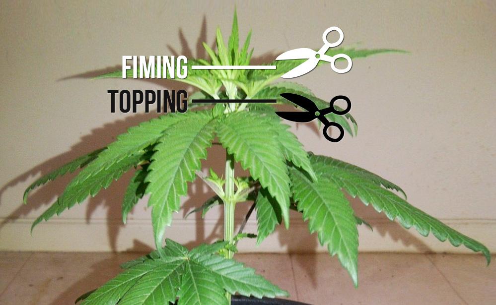 """Ciseaux blancs et ligne avec des """"fiming"""" écrites, des ciseaux noirs et une ligne avec une """"garniture"""" écrite et une plante de cannabis"""