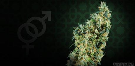 De geslachtssymbolen en een cannabisplant