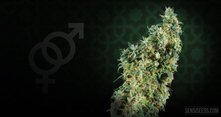 Focus sur une variété de cannabis : First Lady de Sensi Seeds