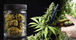Récolter son cannabis: quelques étapes essentielles pour un succès garanti !
