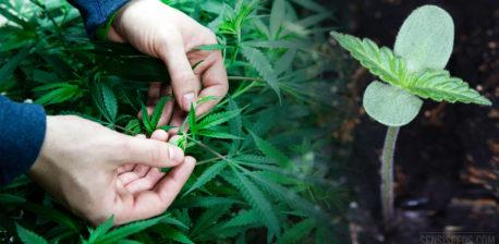Dos manos inspeccionando una planta de cannabis y una pequeña planta de cannabis que brota del suelo.