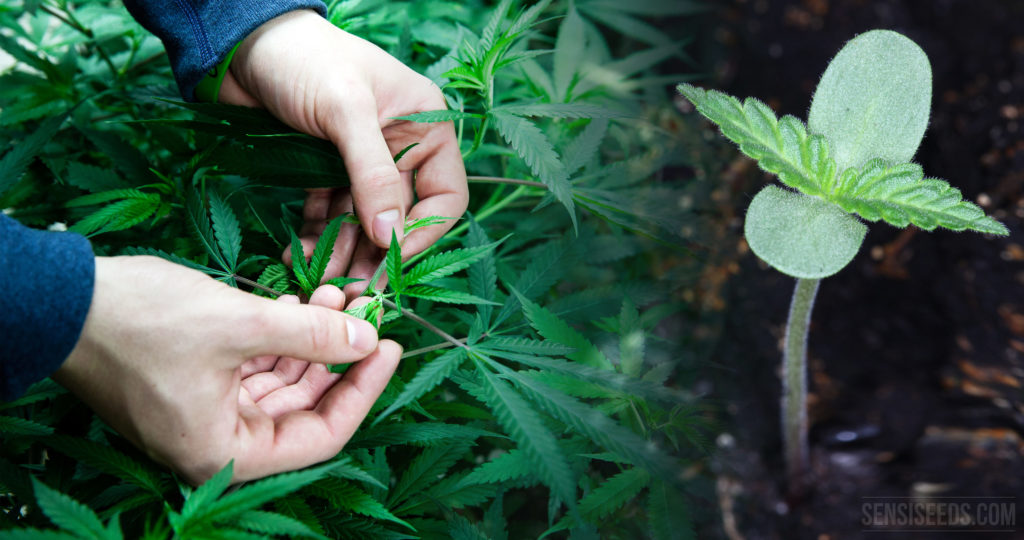 Two hands inspecting a cannabis plant and a small cannabis plant sprouting from soil