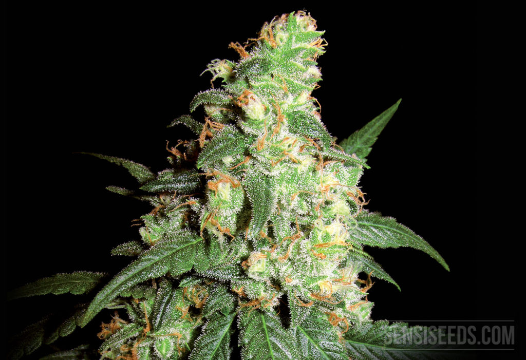 Cannabis Strain Focus First Lady from Sensi Seeds