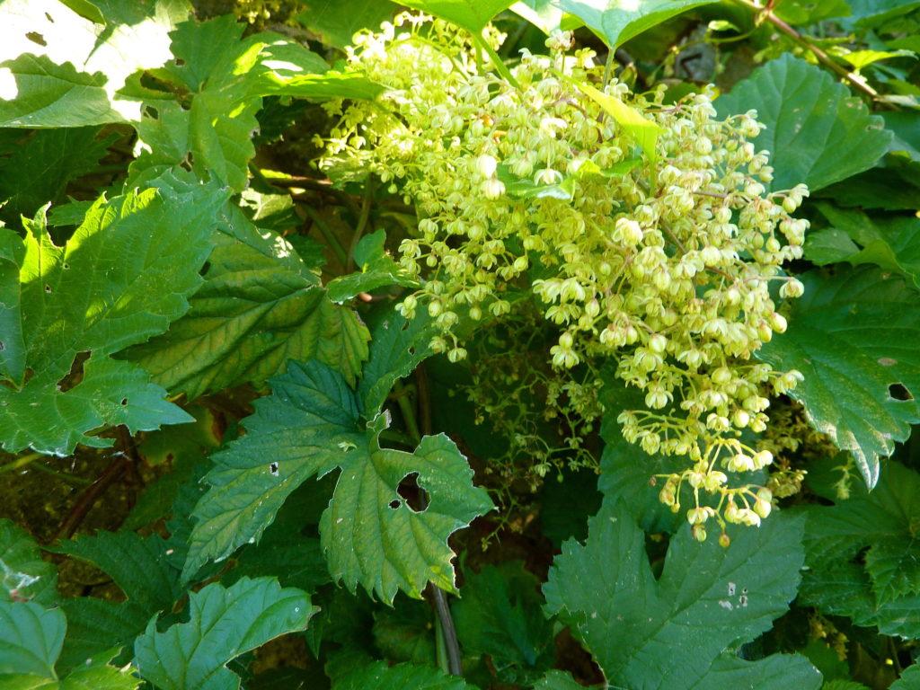 De mannelijke bloemen van cannabis en hop lijken opvallend veel op elkaar (© org.uk)