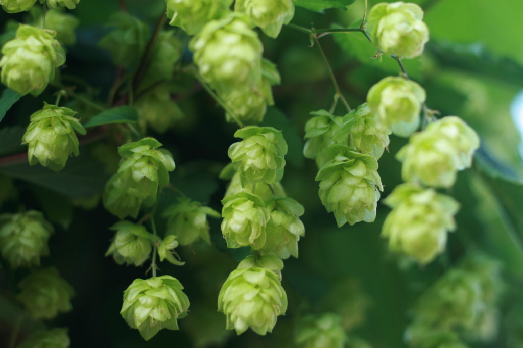 Hop flowers are arranged in grape-like clusters, hanging from a single stem (© Paul Miller)