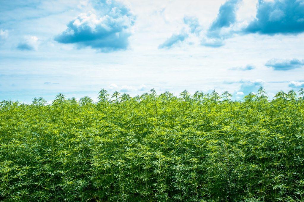 One of the hemp fields