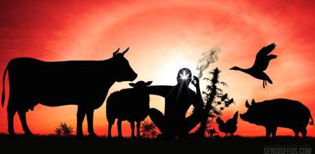 La silueta contra una puesta de sol de una persona fumando una articulación rodeada de animales de granja.