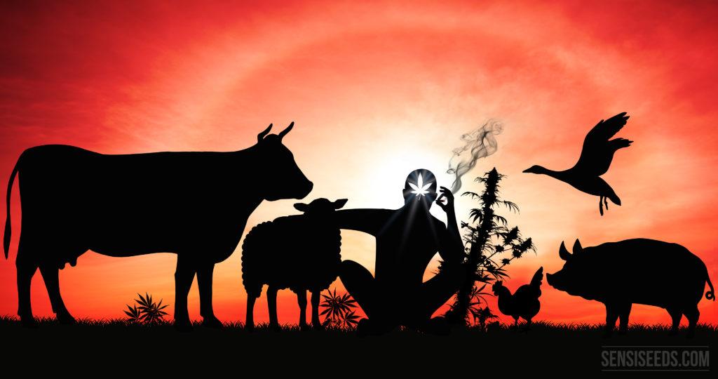 Het silhouet tegen een zonsondergang van een persoon die een gewricht rookt, omringd door landbouwhuisdieren