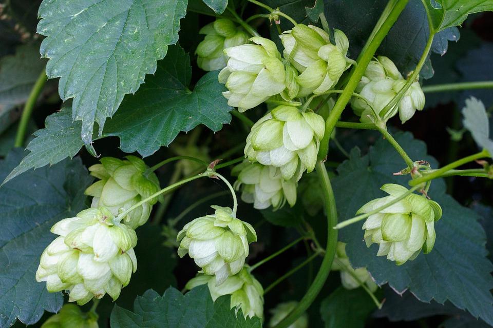 Hops - Sensi Seeds