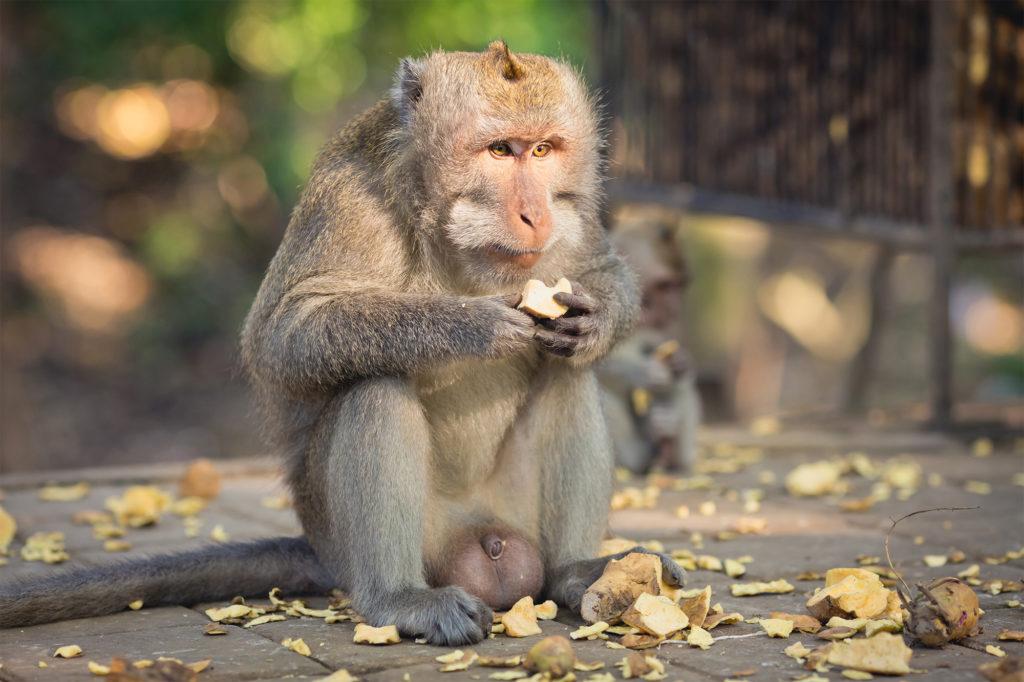 Un macaque crabier, sujet des expériences sur l'usage rectal de cannabis