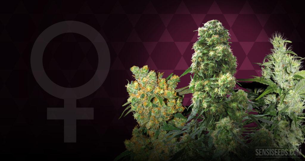 El símbolo de género femenino y tres plantas de cannabis.