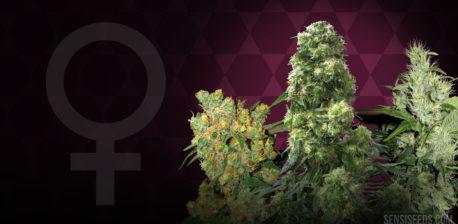 Das weibliche Gender-Symbol und drei Cannabis-Pflanzen