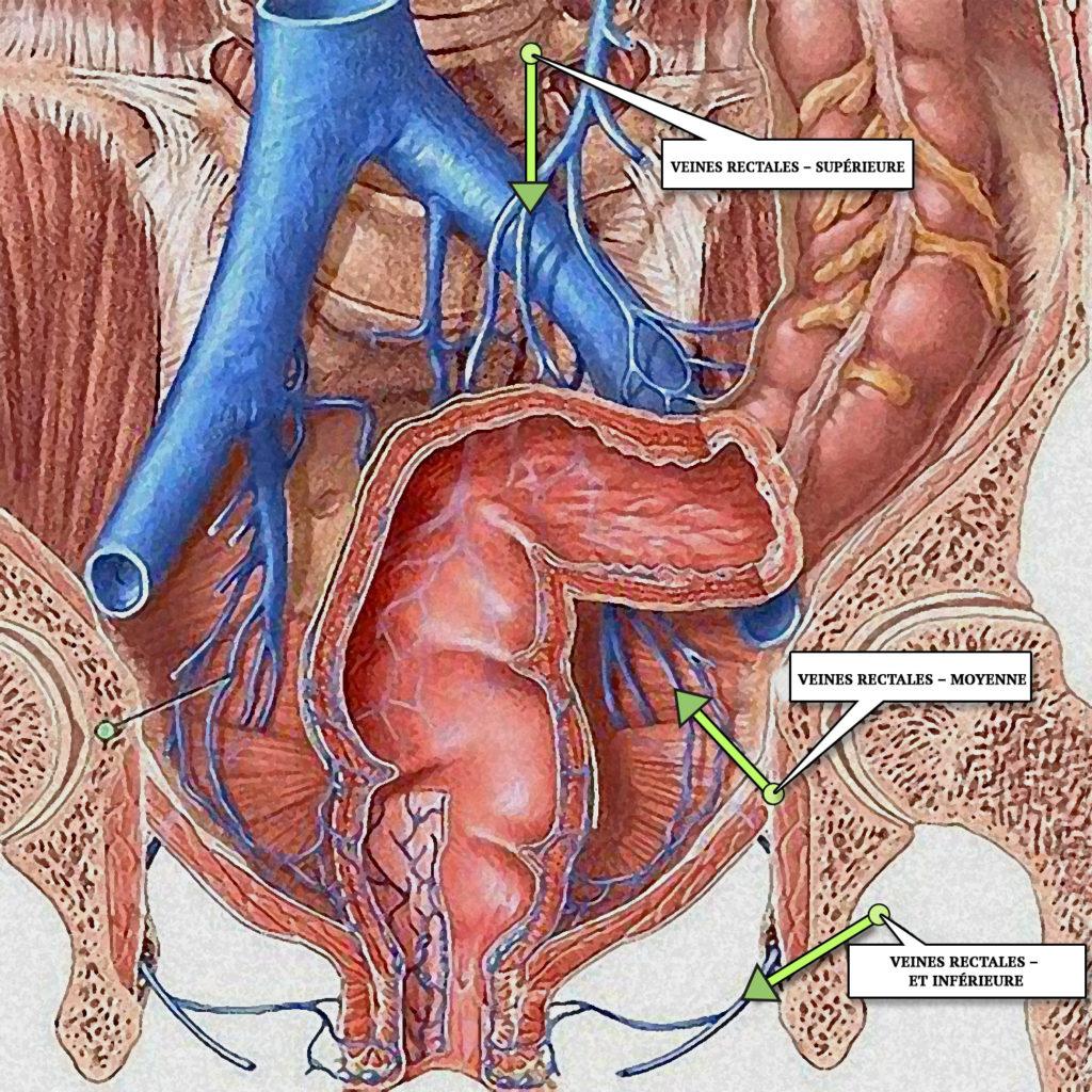 Veines rectales – supérieure, moyenne et inférieure