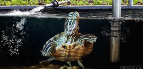 Una tortuga deslizante de tortuga de orejas rojas en un tanque de agua