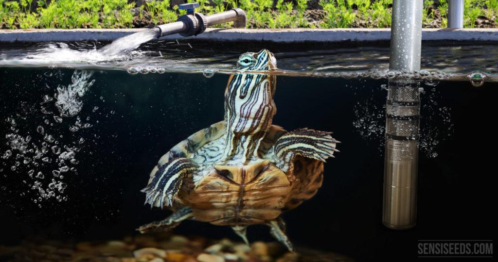 Eine rote Eared-Turtle-Schieberschildkröte in einem Wassertank