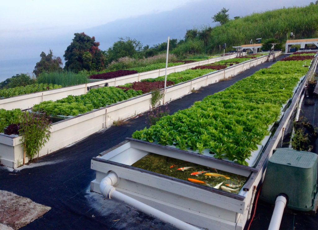 Everything you need to know about aquaponics - Sensi Seeds Blog