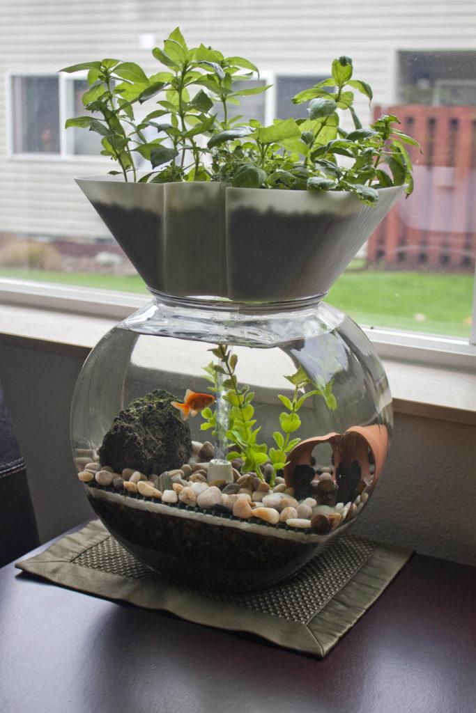 Ein kleines Aquaponik-System mit Aque-Tank und einem Goldfisch