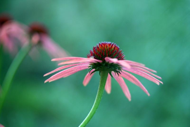 Cannabis bei Husten und Erkältung - Sensi Seeds Blog