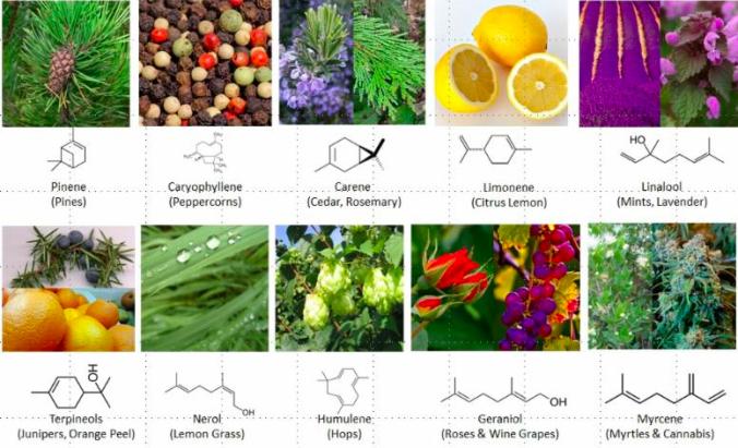 Terpenos comunes y terpenoides en hierbas (© SPEX CertiPrep)