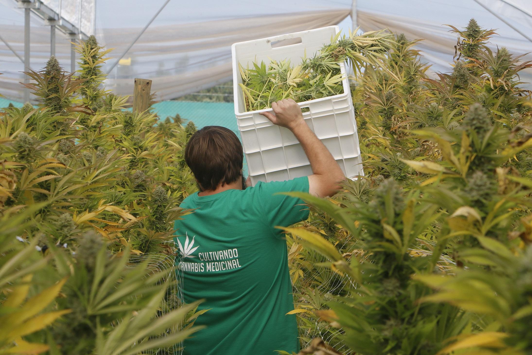 ¿A Quién Puedes Ayudar En El Cannabis Estas Fiestas Navideñas? - Sensi Seeds Blog