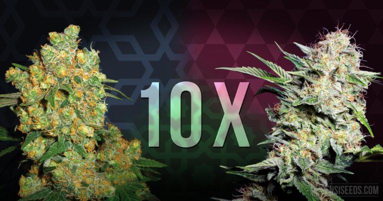 Top 10 des variétés de cannabis pour culture intérieure