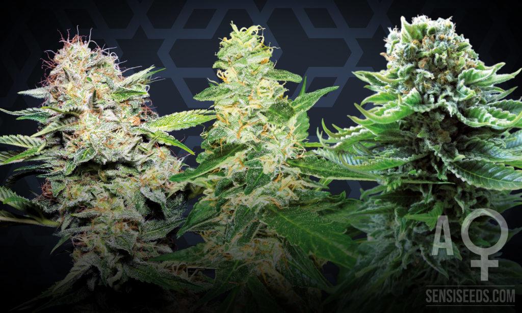 De drie beste zelfbloeiende cannabissoorten voor binnenteelt