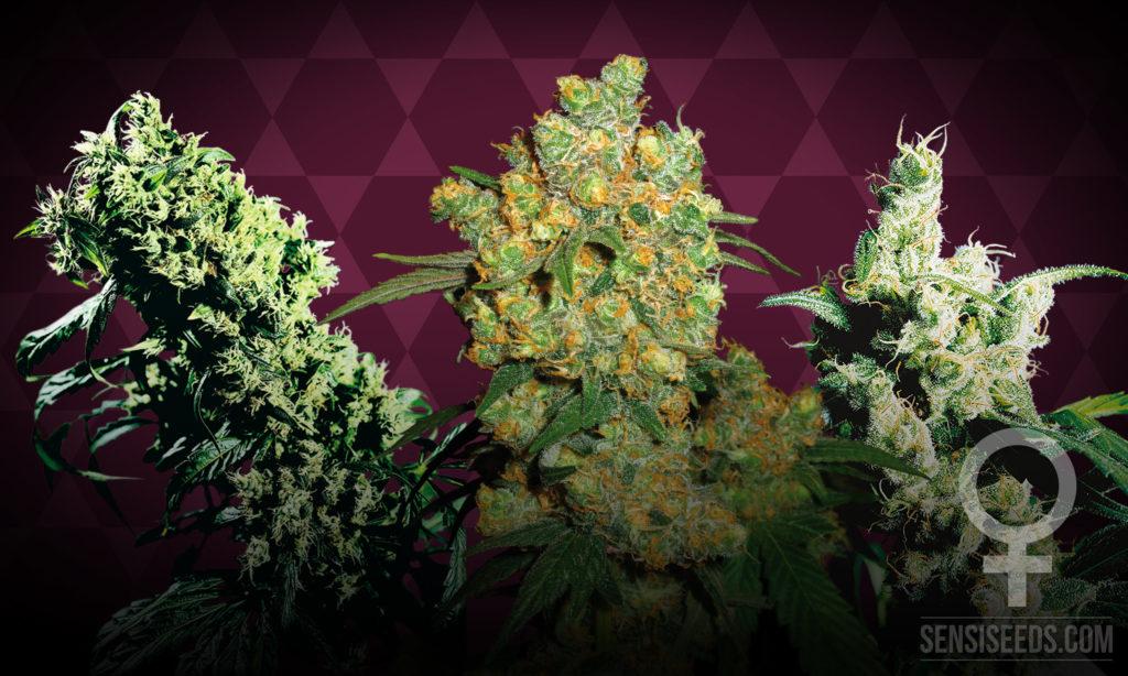 De drie beste gefeminiseerde cannabissoorten voor binnenteelt