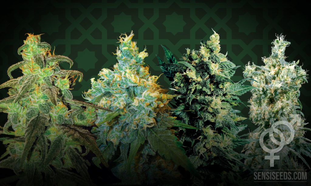 Top Four Regular Cannabis Strains for Growing Cannabis Indoors