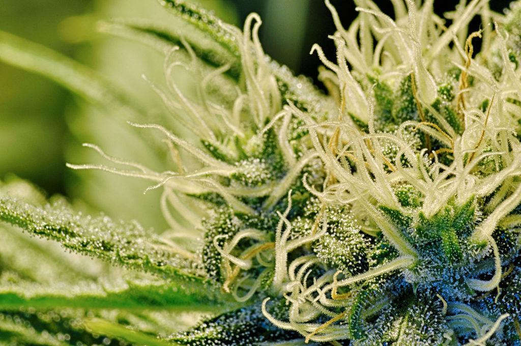 Australien legalisiert den Anbau von medizinischem Cannabis - Sensi Seeds Blog