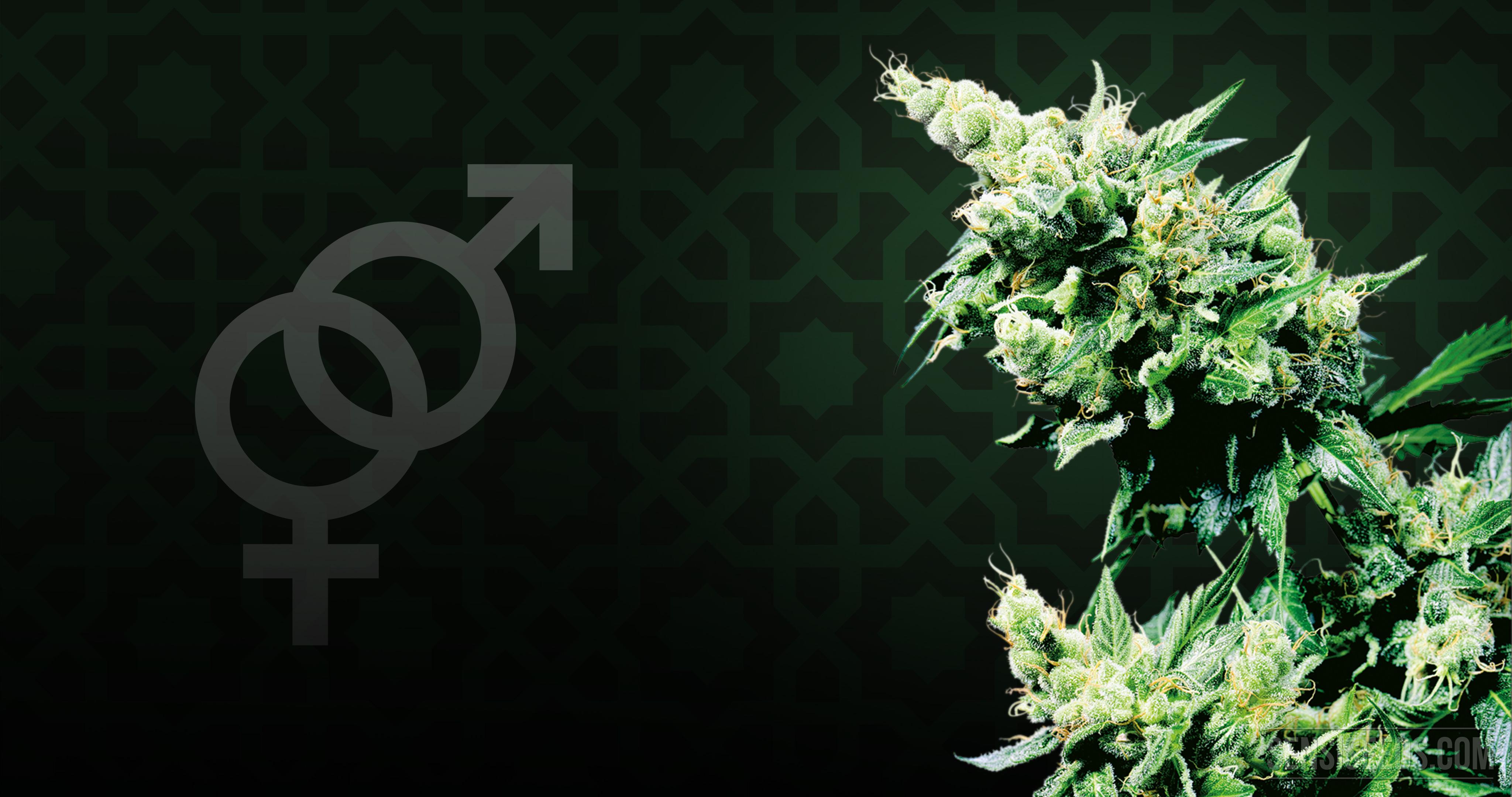 Los símbolos de género y una planta de cannabis.