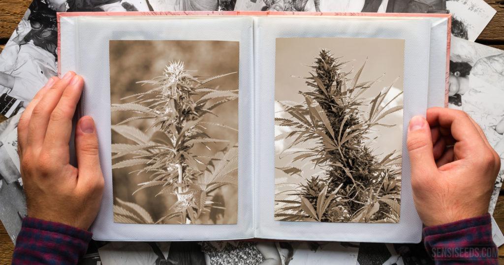 Wie Landrassen-Cannabissorten von der Erde verschwinden